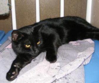 Domestic Shorthair/Domestic Shorthair Mix Cat for adoption in Oswego, New York - Shadow Taylor