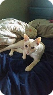 Siamese Cat for adoption in Toronto, Ontario - Cleo