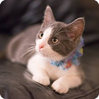 Maine Coon Kitten for adoption in Sacramento, California - pip