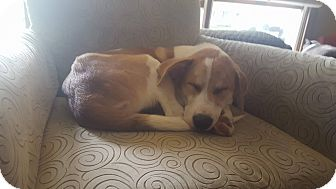 Great Pyrenees Mix Puppy for adoption in chicago, Illinois - Nila