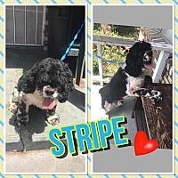 Adopt A Pet :: Stripe - Santa Barbara, CA