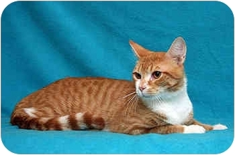 Domestic Shorthair Cat for adoption in Port Hope, Ontario - Jordan