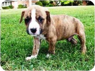 Boxer Mix Puppy for adoption in Seneca, South Carolina - CHASE