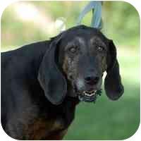 Labrador Retriever/Hound (Unknown Type) Mix Dog for adoption in Denver, Colorado - Gerdie