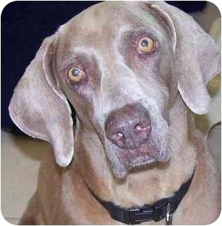 Weimaraner Dog for adoption in Eustis, Florida - Dixie