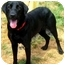 Photo 4 - Labrador Retriever Dog for adoption in Pawling, New York - GUNNER
