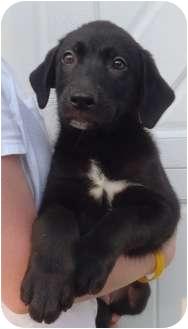 Labrador Retriever Mix Puppy for adoption in Chapel Hill, North Carolina - Charlotte