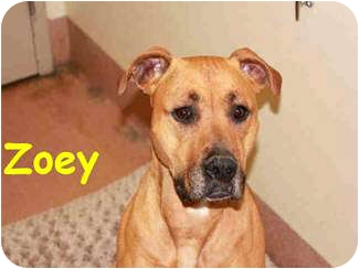 American Pit Bull Terrier Mix Dog for adoption in Vista, California - Zoey