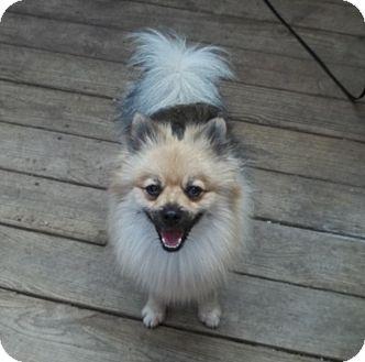 Pomeranian Puppy for adoption in conroe, Texas - Ziggy