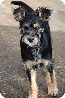 Schnauzer (Miniature)/Terrier (Unknown Type, Small) Mix Puppy for adoption in Yuba City, California - Bailey