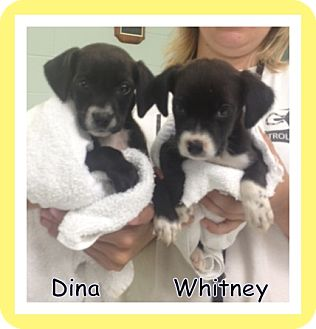 Chihuahua/Rat Terrier Mix Puppy for adoption in Corpus Christi, Texas - Dina & Whitney