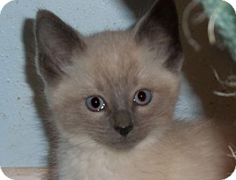 Siamese Kitten for adoption in Great Falls, Montana - Ricky