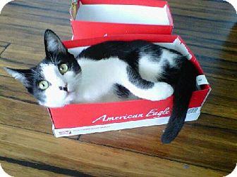 Domestic Shorthair Cat for adoption in Huntsville, Alabama - Freddy