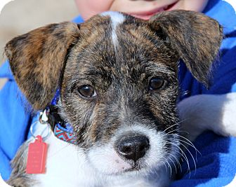 Border Terrier Mix Puppy for adoption in Stamford, Connecticut - Winston
