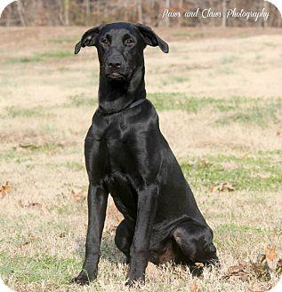 Labrador Retriever/Greyhound Mix Dog for adoption in Hatifeld, Pennsylvania - Ferdinand