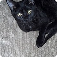 Adopt A Pet :: Prince Charming (loud purr) - Sterling Hgts, MI