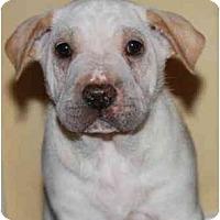 Adopt A Pet :: Noodles - Gilbert, AZ