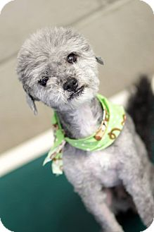 Poodle (Toy or Tea Cup)/Shih Tzu Mix Dog for adoption in Phoenix, Arizona - Blueberry - NON SHED