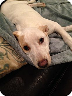 Labrador Retriever/Cardigan Welsh Corgi Mix Puppy for adoption in Greenfield, Wisconsin - Evie