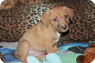 Manchester Terrier/American Staffordshire Terrier Mix Puppy for adoption in Wellington, Florida - WINDY