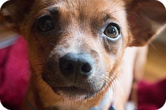 Chihuahua Mix Dog for adoption in Nashville, Tennessee - Jenny