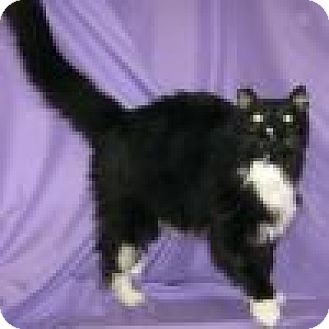 Domestic Longhair Cat for adoption in Powell, Ohio - Lottie