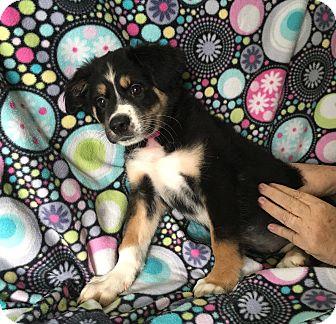 Australian Shepherd Mix Puppy for adoption in Lonedell, Missouri - Bella