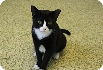 Domestic Shorthair Cat for adoption in Indianapolis, Indiana - Minnie