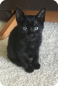 Domestic Shorthair Kitten for adoption in Tampa, Florida - Lexi