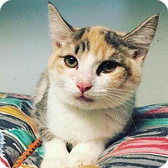 Domestic Shorthair Kitten for adoption in Westminster, California - Ginseng
