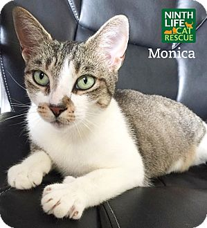 Domestic Shorthair Cat for adoption in Oakville, Ontario - Monica