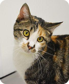 Calico Cat for adoption in Springfield, Illinois - Gilda