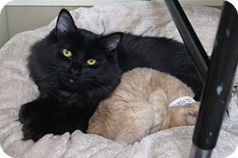 Domestic Mediumhair Cat for adoption in Libby, Montana - Spook