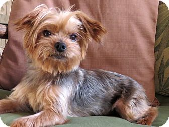 Yorkie, Yorkshire Terrier Mix Dog for adoption in Encino, California - Hudson