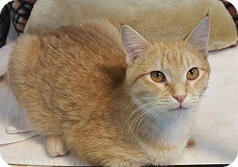 Domestic Shorthair Kitten for adoption in Hawk Point, Missouri - Moonshine