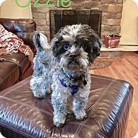 Adopt A Pet :: Ozzie - Nanuet, NY