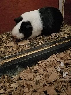 Guinea Pig for adoption in Lancaster, California - Thing 1