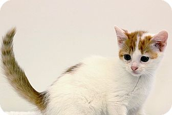 Domestic Shorthair Kitten for adoption in Durham, North Carolina - Marmalade
