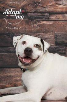American Bulldog Mix Dog for adoption in Philadelphia, Pennsylvania - Bentley