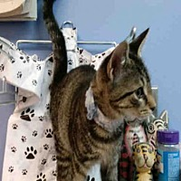 Adopt A Pet :: BRUTUS - Canfield, OH