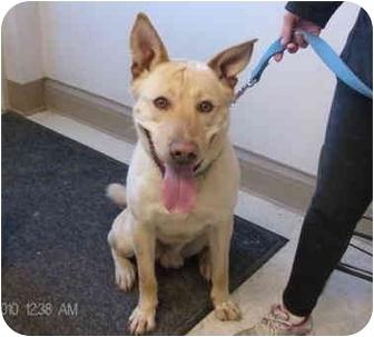 Akita/Labrador Retriever Mix Dog for adoption in Hayward, California - Moose