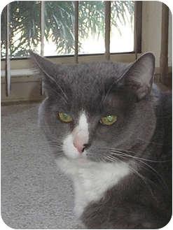 Domestic Mediumhair Cat for adoption in Laguna Woods, California - Precious