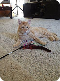 Domestic Shorthair Cat for adoption in Modesto, California - Justin