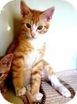 Domestic Shorthair Kitten for adoption in Red Bluff, California - Magic