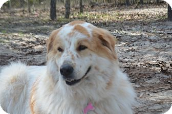 Great Pyrenees/Golden Retriever Mix Dog for adoption in Weeki Wachee, Florida - Precious, the Great Pyrenees