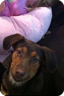Doberman Pinscher Mix Dog for adoption in McKeesport, Pennsylvania - Doctor aka Charlie