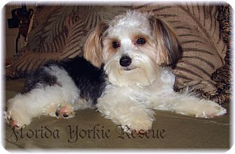 Yorkie, Yorkshire Terrier Puppy for adoption in Palm City, Florida - Parti Time Teddy  Bear