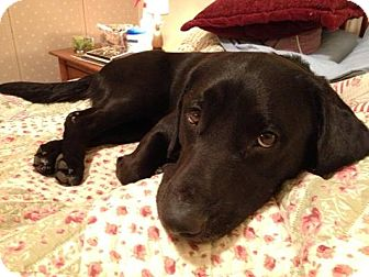 Labrador Retriever Mix Dog for adoption in Lewisville, Indiana - Prince