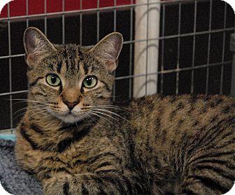 Bengal Cat for adoption in Winchendon, Massachusetts - Baby Girl
