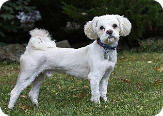 Bichon Frise/Shih Tzu Mix Dog for adoption in Rigaud, Quebec - Chachi